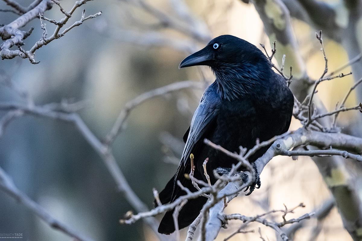 Un cuervo en una rama